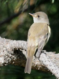 5. Willow Flycatcher (Empidonax traillii)  Adams County, WA - May 2010 | by SteveMlodinow