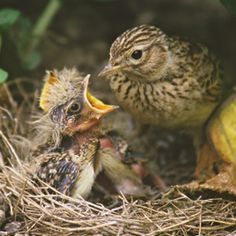Baby bird, mom and nest Skylark, Nature Plants, Woodland Creatures, Animals Of The World, Wild Birds, Bird Watching, Natural World, Bird Feathers, Beautiful Birds