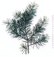 Pseudotsuga -ponderosa pine Wikipedia, the free encyclopedia