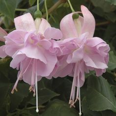 Fuchsia Hollys Beauty - Fuchsias