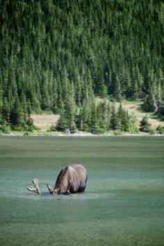 """Pardon me while I take a quick sip...""  We can't say we blame you, Mr. Moose--the lakes of Aroostook County are quite literally pure enough to guzzle down!  