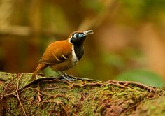 Foto formigueiro-ferrugem (Myrmoderus ferrugineus) por Ciro Albano | Wiki Aves - A Enciclopédia das Aves do Brasil