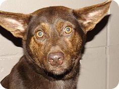 2/3/17 URGENT!! Oxford, MS - Australian Cattle Dog Mix. Meet Rori, a dog for adoption. Hi, my name is Rori and I am a 10 month old Australian Cattle Dog mix that was brought to the shelter as a stray.  I am a super sweet, friendly, and playful girl!  I am a little shy at first, but warm up to you quickly with some love and pets.  I have a wonderful personality, get along well with other dogs. http://www.adoptapet.com/pet/17462664-oxford-mississippi-australian-cattle-dog-mix