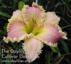 Daylily Dentelure
