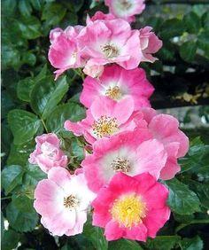 Rosa x liane American Pillar