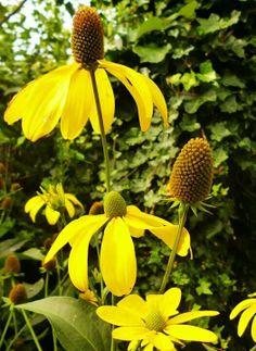 Image result for rudbeckia nitida 'herbstsonne'