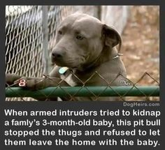 And everyone thinks pitbulls are bad because of their aggressive behavior when really its not the behavior of the breed, its how the leader taught and trained their dog to be.