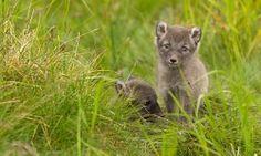 next pet! Arctic Tundra, Arctic Fox, Fox Pups, Science, Pets, Animals, Animales, Animaux, Animal