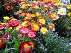 Flower Strawflower Swiss Giant Mix DGS214BVC (Multi Color) 1000 Open Pollinated Seeds by David's Garden Seeds David's Garden Seeds http://www.amazon.com/dp/B01ADVM1UW/ref=cm_sw_r_pi_dp_LUsexb11GCWHD