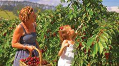 Pick your own Cherry Farm, Red Hill, Mornington Peninsula, Victoria, Australia