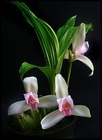 Lycaste Ipala.  Uma orquídea espécies (cor)
