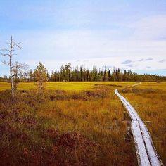 Photo by pekkajh instagram  Swamp in Autumn in Kolari, Finnish Lapland.  Syksyn värejä. #ruska #maaruska #autumncolours #swamp #teuravuoma #pitkospuut #telatie #sammal #moss #sky #lapland #wilderness #lappi #kolarinkunta #silence #cloudlovers #sedative #cranberry #crane #swan #filmlapland #filminglocation #arcticshooting Forests, Crane, Kos, Finland, Wilderness, Country Roads, Autumn, Mountains, Nature