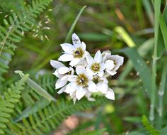Delicate bulbs growing in the Helderberg Nature Reserve. Golden Hill, Somerset West, Chalk Paint Colors, Property Prices, Dark Eyes, Nature Reserve, Color Inspiration, White Flowers, Bulbs