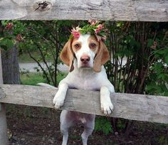 Flower powered Beagl