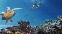 Great Barrier Reef--Turtle and Diver