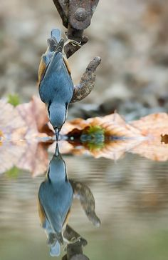Bluebird sees it's reflection!