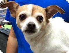 Tampa, FL - Chihuahua/Jack Russell Terrier Mix. Meet Sasha, a dog for adoption. http://www.adoptapet.com/pet/15300475-tampa-florida-chihuahua-mix