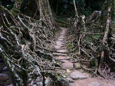 the wonderful living bridges of the Cherrapunji