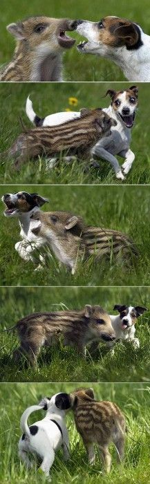 totally weird pair of pals: a baby boar and a jack russell terrier!