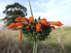 Leonotis nepetifolia leaves are brewed as a tea for fever, coughs, womb prolapse and malaria.