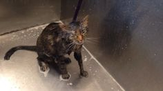 Owner shocked as cat says 'No more!' and refuses bath