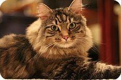 10/16/14 Richmond, VA - Maine Coon. Meet Shakespeare, a cat for adoption. http://www.adoptapet.com/pet/11744974-richmond-virginia-cat