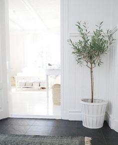 olive tree indoors