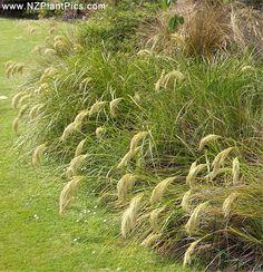 NZ plant pics - Chionochloa flavicans