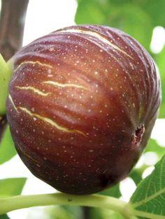 Fig 'Madeleine des Deux Saisons'