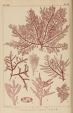 Gelidium amansii lamour. Icones of Japanese algae v.3  Tokyo,Kazamashobo[1907-1942]  Biodiversitylibrary. Biodivlibrary. BHL. Biodiversity Heritage Library