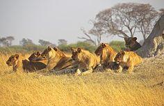 Amimals, Lions, Afrikka, Predator, Pride