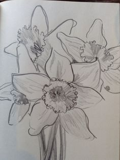 Pencil sketch of daffodils