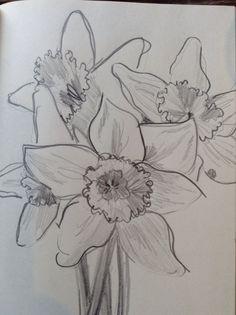 Pencil sketch of daffodils