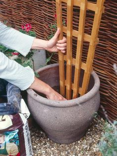 Growing Climbing Plants in Containers Many compact climbers, such as jasmine and some clematis, are well suited to living in pots. All they need is a good-sized container, suitable support and regular watering and feeding.