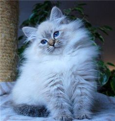 Hottest Photo Ragdoll Cats blue Concepts The large, weak Ragdoll is usually a cute accessory for any kind of puppy spouse's home. Called with regard to. Pretty Cats, Beautiful Cats, Cute Cats And Kittens, Kittens Cutest, Neva Masquarade, Ragdoll Cat Breed, Siberian Kittens, Gatos Cats, Cats For Sale