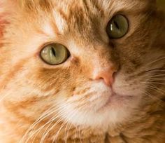 I love ginger cats!!!! i have a cat thats ginger
