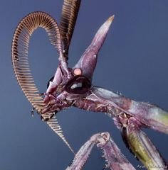 """scienceyoucanlove: """" Spotting of the Day: This bizarre looking """"alien"""" is actually a species of mantis! The conehead mantis or mantis palo, is native to the Mediterranean region. Cool Insects, Rare Species, A Bug's Life, Praying Mantis, Little Critter, Anime Hair, Bioshock, Creature Design, Exotic Pets"""