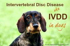 Intervertebral Disc Disease can affect any dog, but especially long-bodied breeds. Learn about causes, symptoms, treatment and care of IVDD in dogs here. Dachshund Art, Wire Haired Dachshund, All Dogs, Dogs And Puppies, Dogs 101, Dog Illnesses, Intervertebral Disc, Make Dog Food, Medication For Dogs