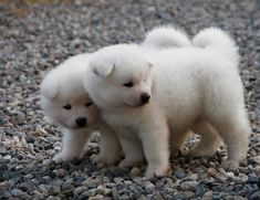 white akita inu puppies images