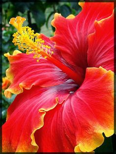 Hibiscus, love Hibiscus especially this color!!