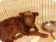 Australian Shepherd/German Shepherd Dog Mix Dog for adoption in Phoenix, Arizona - Grizzly