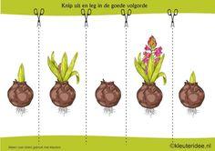 Leg de plaatjes van de hyacint in logische volgorde , kleuteridee.nl , sequence free printable.