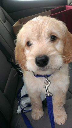Charlie- my mini goldendoodle :)