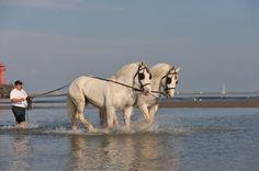 Boulonnais Horse | Found on parcchevauxdumonde.com