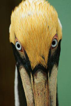 brown pelican-- gorgeous creatures!
