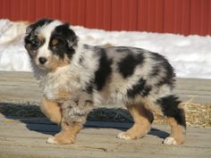 9 Week Old Australian Shepherd Pup Pics - Horsetopia Forum