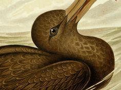 1891 Antique fine Broinowski lithograph of BIRDS OF AUSTRALIA: Giant Petrel. 123 years old gorgeous print.