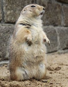 Willy the prairie dog has escaped from his enclosure more than 100 times at Bergzoo, Halle, Germany.