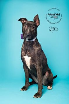 Petango.com - Meet Lillie, 1y 4m Terrier, Bull / Mix available for adoption in VISALIA, CA