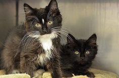 9/13/16 A California animal shelter was overwhelmed with felines after someone dumped 34 cats and kittens outside of the Novato facility in the middle of the night. According to a press release from the Marin Humane Society (MHS), it was the fifth time over the course of the past four years that a large number and …